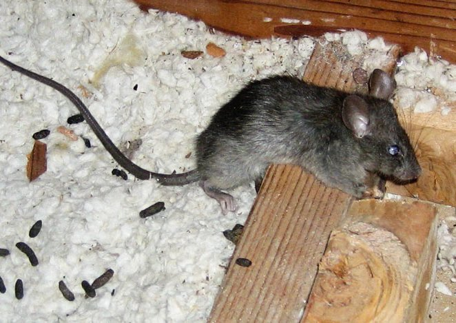 TOP 5 Mistakes People Make when Cleaning Rodent Feces